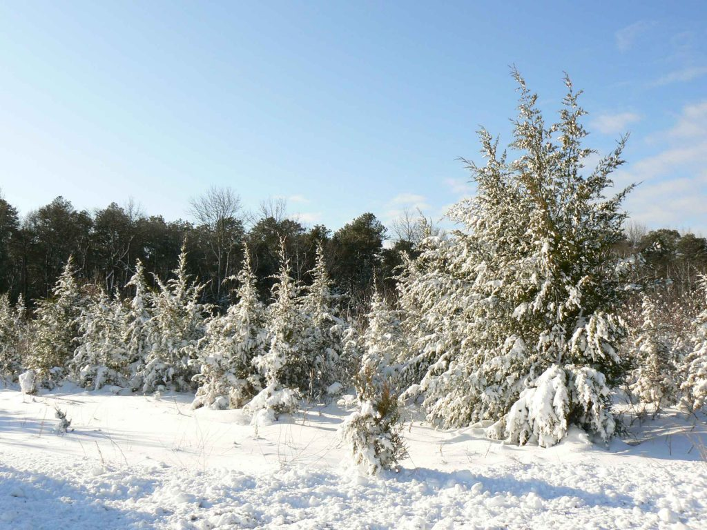 snow-covered-pine-trees-landscape