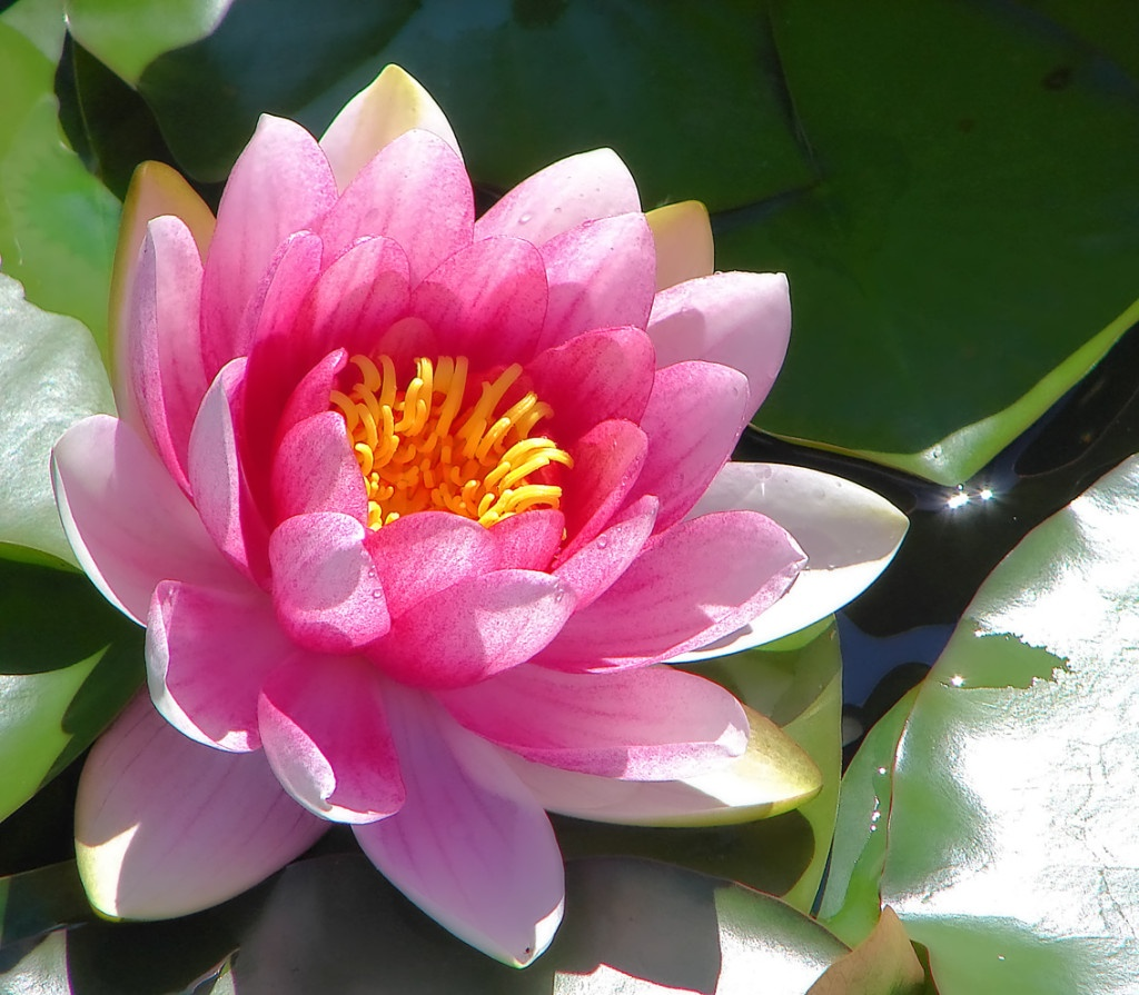 Pink_water_lily