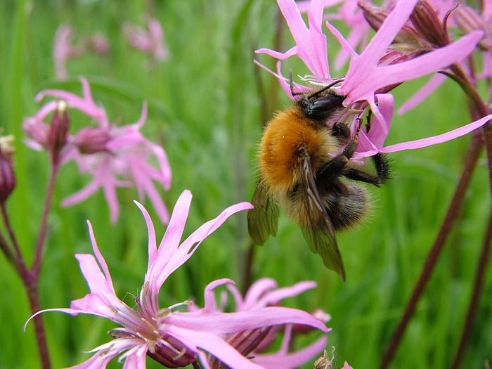 bumblebee-679811_960_720